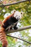 Little red panda bear on a tree Royalty Free Stock Images
