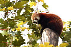 Little red panda Stock Photography