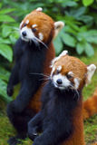 Little red panda standing Stock Photography