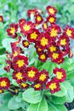 Little red primula flowers bloom in the garden. Summer plants bloom in my garden royalty free stock image