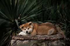 Little red puppy akita lie on the stone royalty free stock photo