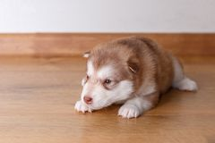 The little red puppy of breed the Alaskan Malamute lying on the floor.  Stock Image