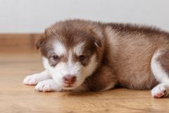 The little red puppy of breed the Alaskan Malamute lying on the floor and looks to the camera.  Stock Photo
