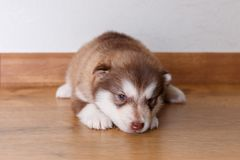 The little red puppy of breed the Alaskan Malamute lying on the floor and looks to the camera.  Stock Image