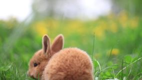 Little red rabbits gallop among the grass