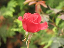 Little red rose Stock Photos