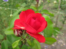 Little red rose Stock Photo