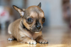 Little red sable chihuahua puppy. Little sable chihuahua puppy lying on floor close-up royalty free stock photography