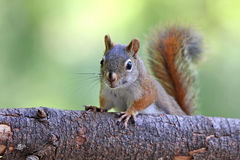 Little Red Squirrel Stock Photos