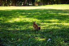 A little red squirrel on a bright green lawn. Beautiful squirrel in green grass stock images