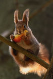Little red squirrel Royalty Free Stock Photography