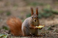 Little red squirrel Royalty Free Stock Images