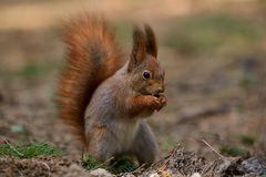 Little red squirrel Royalty Free Stock Photos