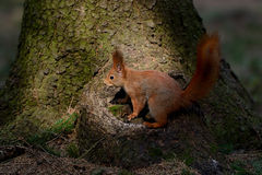 Little red squirrel Royalty Free Stock Image