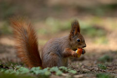 Little red squirrel Stock Image