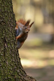 Little red squirrel Stock Photography