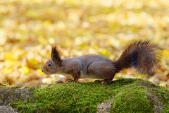 Little red squirrel Royalty Free Stock Photo