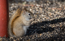 Little Red Squirrel eating seeds for breakfast in the early springtime sun. Stock Photos