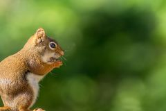 Little red squirrel enjoys a snack against forest green background. Clever little American Red Squirrel Tamiasciurus hudsonicus pauses for a pose on wooden Royalty Free Stock Photo