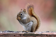 Little Red Squirrel in Fall stock images