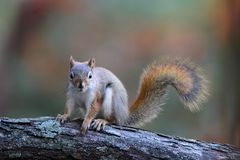 Little Red Squirrel in Fall royalty free stock photography