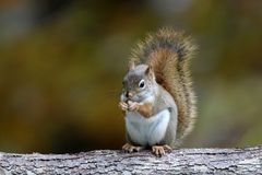 Little Red Squirrel in Fall eating a Nut royalty free stock photography