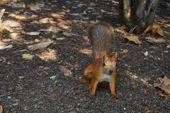 Squirrel in the park. Little red squirrel on the ground in the park Royalty Free Stock Photos
