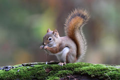 Little Red Squirrel In Fall Stock Photos