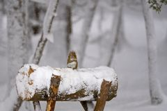 Free Little Red Squirrel In Winter Stock Images - 140509384
