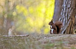 Little red squirrel looking in an autumnal forest royalty free stock photo