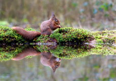 Little red squirrel is nibbling on a hazelnut while sitting in the forest Royalty Free Stock Images