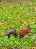 Little red squirrel Stock Photo