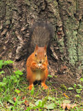 Little red squirrel Stock Images