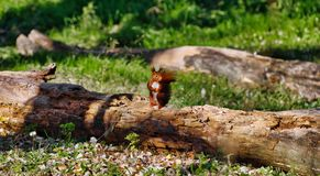 Little red squirrel sitting on a log in the morning stock photos