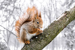 Little red squirrel standing with nut on tree branch in winter p. Little red squirrel standing with nut on tree branch in winter forest Stock Image