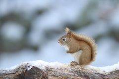 Little American Red Squirrel in Winter stock photography