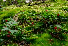 Little red wild berry. Beautiful delicate colors with blurred background create a sense of fairy tale Royalty Free Stock Photo