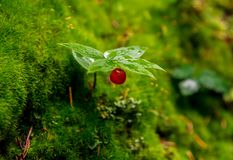 Little red wild berry. Beautiful delicate colors with blurred background create a sense of fairy tale Stock Photography