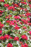 Little Red Zinnias Royalty Free Stock Photography