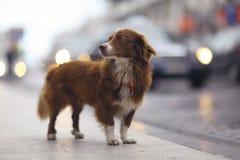 Little redhead cute dog Stock Image
