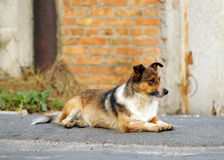 Little redhead cute dog on the street Royalty Free Stock Image