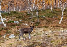 Reindeer in the forest, Lapland, Finland. Little reindeer in the forest, autumn, Lapland, Finland stock photography