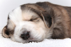 Little resting puppy Stock Images