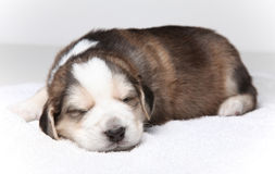 Little resting puppy Royalty Free Stock Image