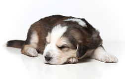 Little resting puppy Royalty Free Stock Photos