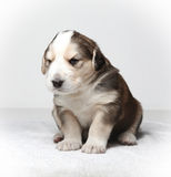 Little resting puppy Royalty Free Stock Images