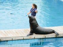 A little reward. Seal show at New York aquarium. A little reward for good performance Stock Image