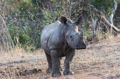Lovely breeding of white rhino royalty free stock image