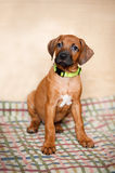 Little Rhodesian Ridgeback puppy at home Stock Images