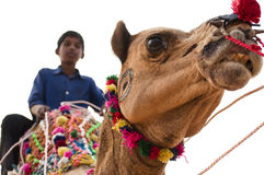 The little rider. A little boy is riding on a camel's back in the pushkar fair, Rajasthan, India Stock Photography